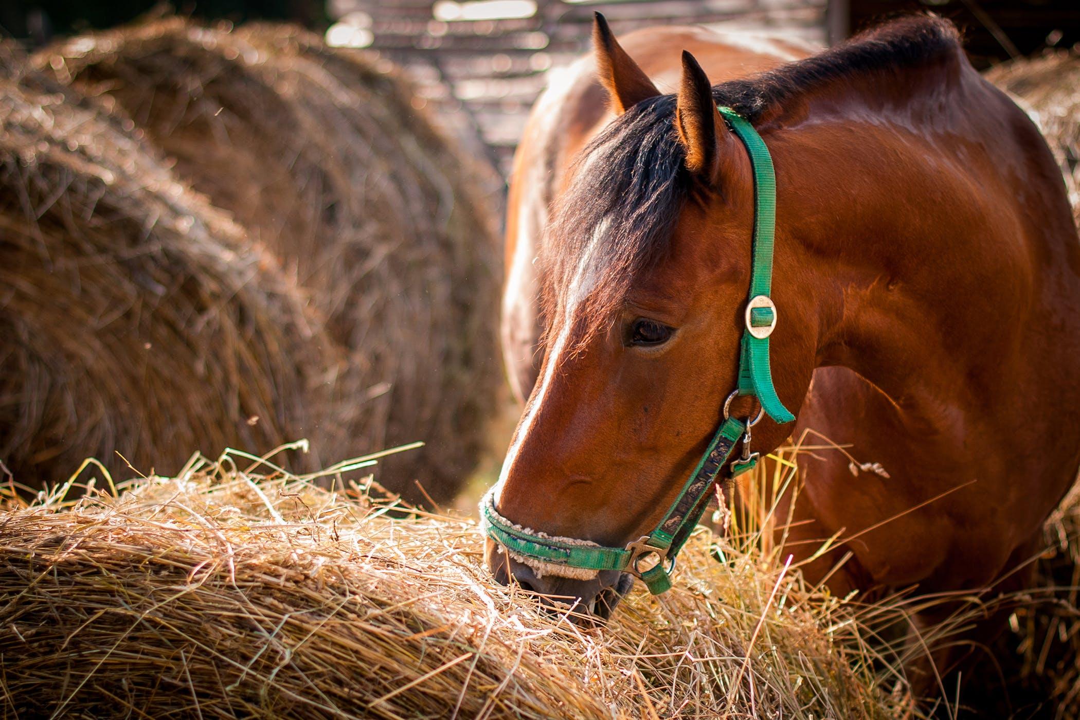 Hay Allergy in Horses