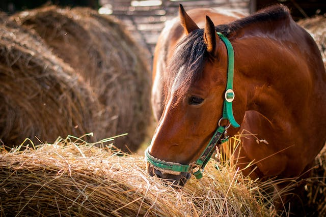 Hay Allergy In Horses - Symptoms, Causes, Diagnosis, Treatment, Recovery, Management, Cost