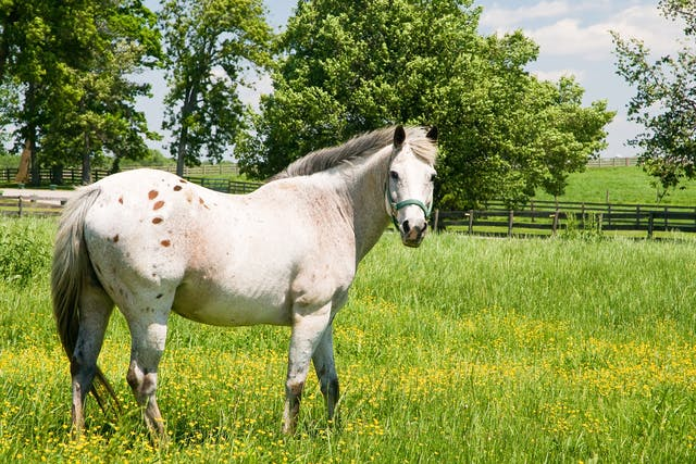 Heart Failure in Horses - Symptoms, Causes, Diagnosis, Treatment, Recovery, Management, Cost