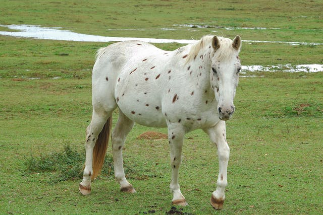 Hematoma in Horses - Symptoms, Causes, Diagnosis, Treatment, Recovery, Management, Cost