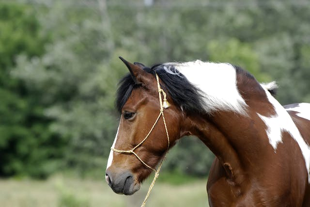 Hendra Vaccine Allergy in Horses - Symptoms, Causes, Diagnosis, Treatment, Recovery, Management, Cost