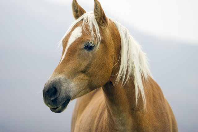Hereditary Equine Regional Dermal Asthenia (HERDA) in Horses - Symptoms, Causes, Diagnosis, Treatment, Recovery, Management, Cost