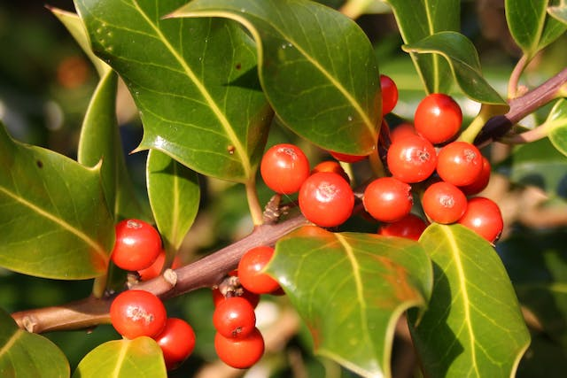 Holly Poisoning in Horses - Symptoms, Causes, Diagnosis, Treatment, Recovery, Management, Cost