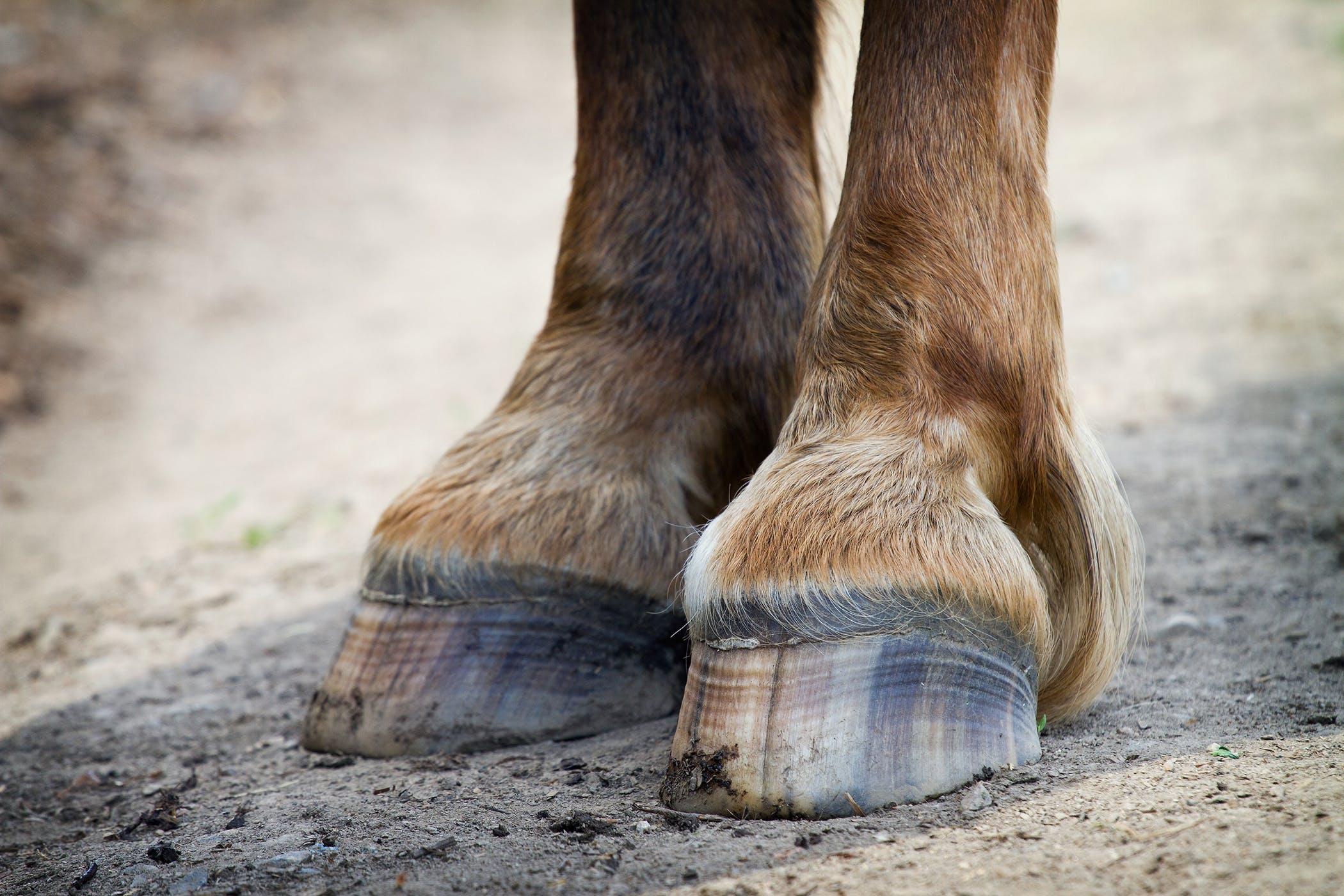 Hoof Crack in Horses - Symptoms, Causes, Diagnosis ...
