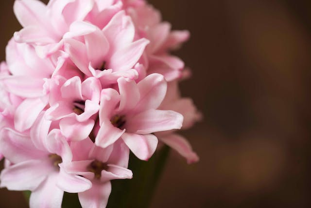 Hyacinth Poisoning in Horses - Symptoms, Causes, Diagnosis, Treatment, Recovery, Management, Cost