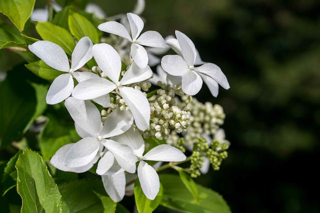 Hydrangea Poisoning in Horses - Symptoms, Causes, Diagnosis, Treatment, Recovery, Management, Cost