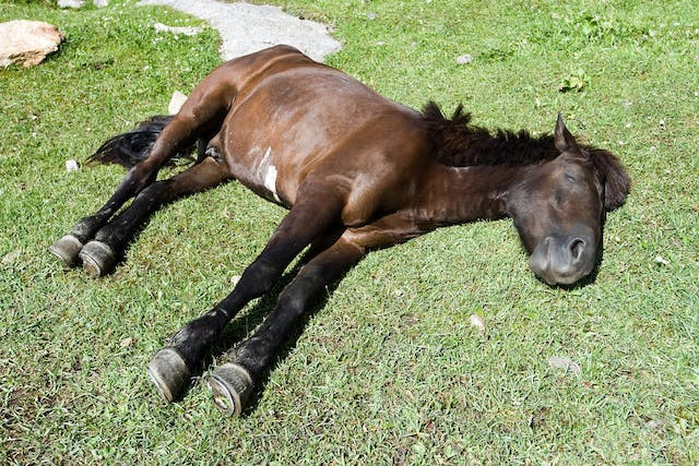Hyperkalemic Periodic Paralysis in Horses - Symptoms, Causes, Diagnosis, Treatment, Recovery, Management, Cost