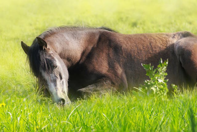 Hypocalcemic Disorders in Horses - Symptoms, Causes, Diagnosis, Treatment, Recovery, Management, Cost