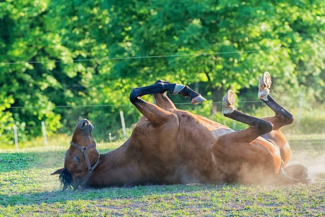 Hypocalcemic Tetany in Horses - Symptoms, Causes, Diagnosis, Treatment, Recovery, Management, Cost