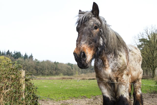 Hypoderma Bovis spp Infestation in Horses - Symptoms, Causes, Diagnosis, Treatment, Recovery, Management, Cost
