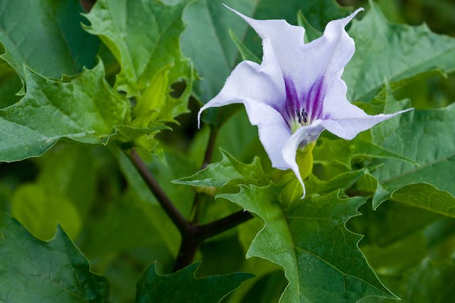 Jimson Weed Poisoning in Horses - Symptoms, Causes, Diagnosis, Treatment, Recovery, Management, Cost