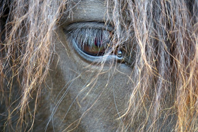 Keratitis in Horses - Symptoms, Causes, Diagnosis, Treatment, Recovery, Management, Cost