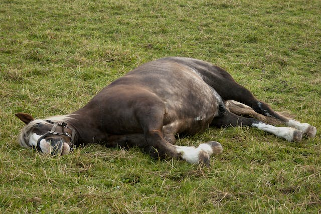 Lameness in Horses - Symptoms, Causes, Diagnosis, Treatment, Recovery, Management, Cost