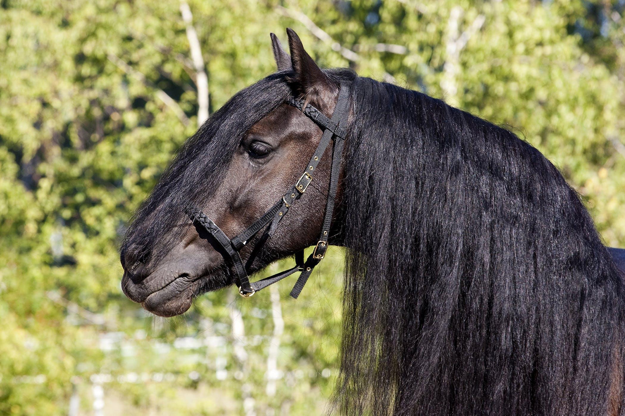 Laryngeal Hemiplegia In Horses Symptoms Causes Diagnosis