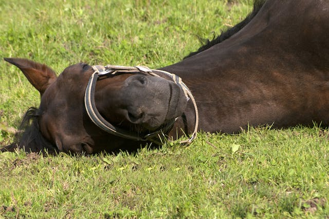 Laryngeal Paralysis in Horses - Symptoms, Causes, Diagnosis, Treatment, Recovery, Management, Cost