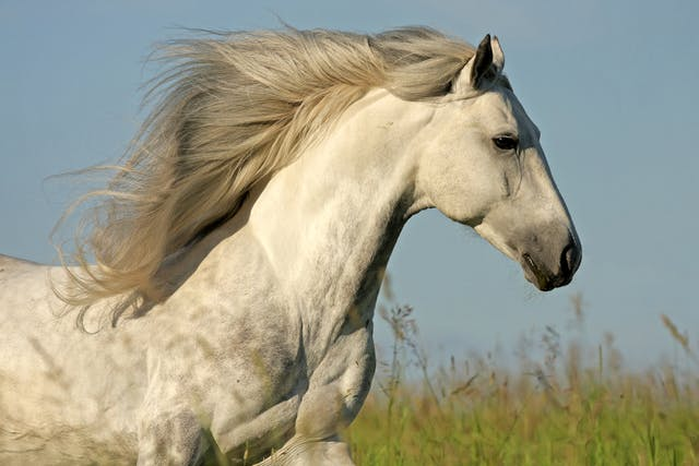 Lice in Horses - Symptoms, Causes, Diagnosis, Treatment, Recovery, Management, Cost