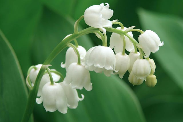 Lily of the Valley Poisoning in Horses - Symptoms, Causes, Diagnosis, Treatment, Recovery, Management, Cost