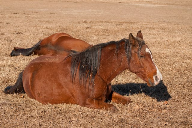 Liver Disease in Horses - Symptoms, Causes, Diagnosis, Treatment, Recovery, Management, Cost