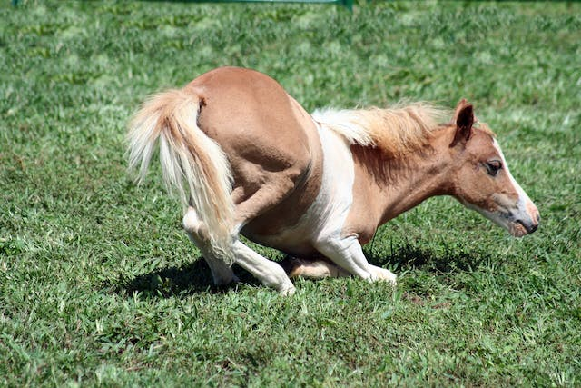 Luxation of the Coxofemoral Joint in Horses - Symptoms, Causes, Diagnosis, Treatment, Recovery, Management, Cost