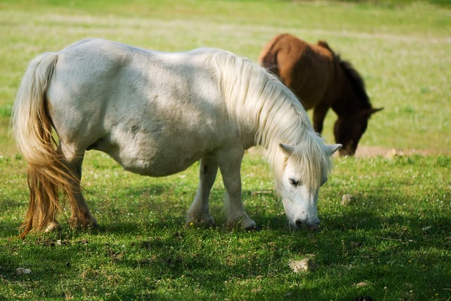 Malignant Edema in Horses - Symptoms, Causes, Diagnosis, Treatment, Recovery, Management, Cost