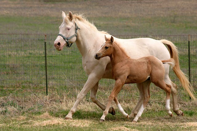 Mare Reproductive Loss Syndrome in Horses - Symptoms, Causes, Diagnosis, Treatment, Recovery, Management, Cost