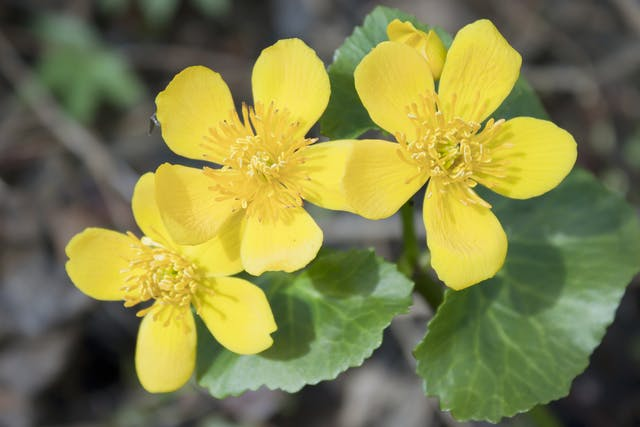 Marsh Marigold Poisoning in Horses - Symptoms, Causes, Diagnosis, Treatment, Recovery, Management, Cost