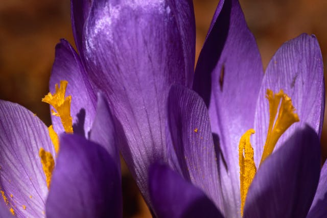Meadow Saffron Poisoning in Horses - Symptoms, Causes, Diagnosis, Treatment, Recovery, Management, Cost