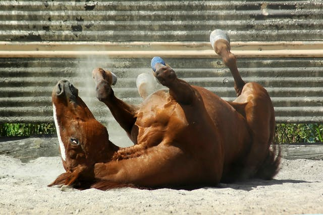 Meningitis and Encephalitis in Horses - Symptoms, Causes, Diagnosis, Treatment, Recovery, Management, Cost