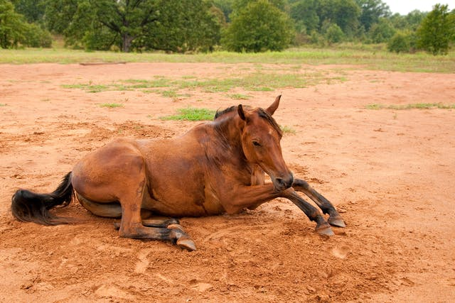 Meniscus and Meniscal Ligament Injuries in Horses - Symptoms, Causes, Diagnosis, Treatment, Recovery, Management, Cost