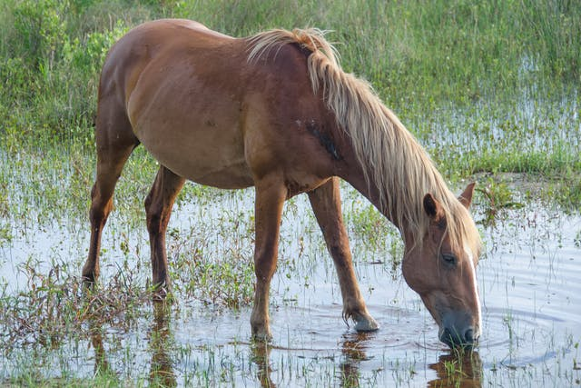 Mineral Deficiencies in Horses - Symptoms, Causes, Diagnosis, Treatment, Recovery, Management, Cost