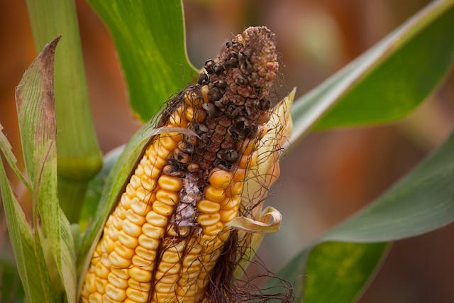 Moldy Corn Toxicosis in Horses - Symptoms, Causes, Diagnosis, Treatment, Recovery, Management, Cost