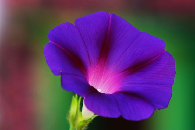Morning Glory Poisoning in Horses - Symptoms, Causes, Diagnosis, Treatment, Recovery, Management, Cost