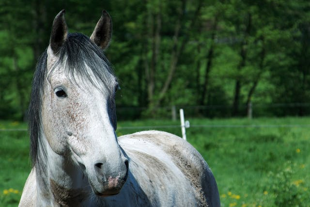Mosquito Bite Allergy in Horses - Symptoms, Causes, Diagnosis, Treatment, Recovery, Management, Cost