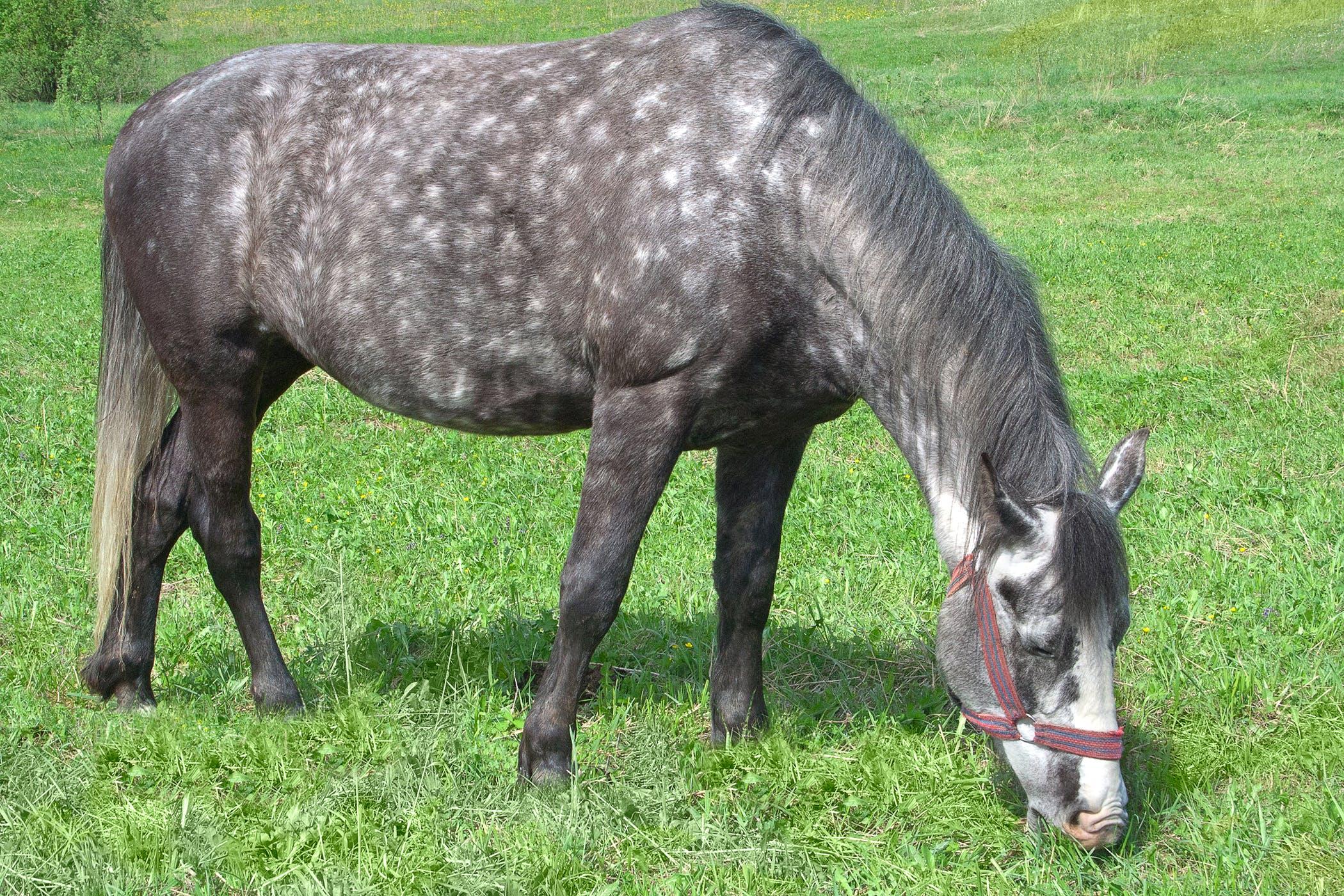 Mosquito Bites in Horses - Symptoms, Causes, Diagnosis