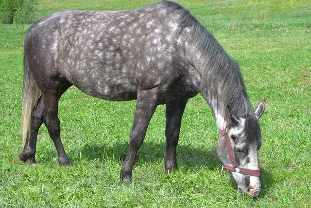 Mosquito Bites in Horses - Symptoms, Causes, Diagnosis, Treatment, Recovery, Management, Cost
