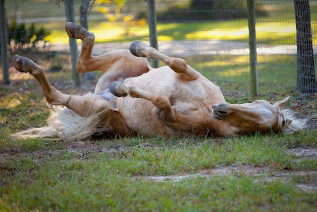 Muscle Strain and Soreness in Horses - Symptoms, Causes, Diagnosis, Treatment, Recovery, Management, Cost