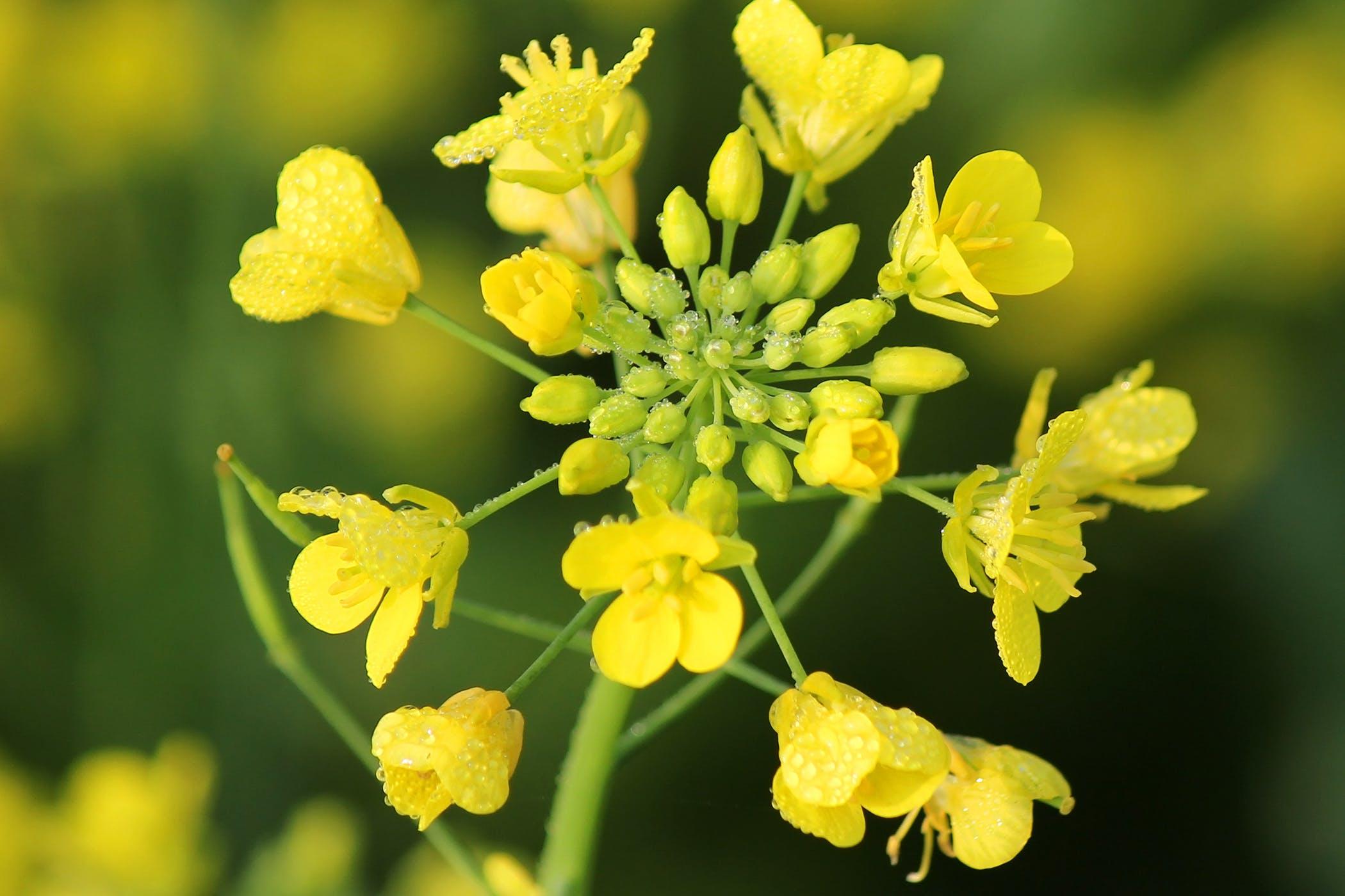 mustard plants poisoning in horses