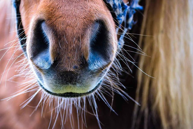 Nasopharyngeal Cicatrix Syndrome in Horses - Symptoms, Causes, Diagnosis, Treatment, Recovery, Management, Cost