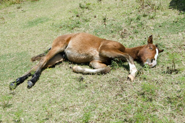 Neonatal Isoerythrolysis in Horses - Symptoms, Causes, Diagnosis, Treatment, Recovery, Management, Cost
