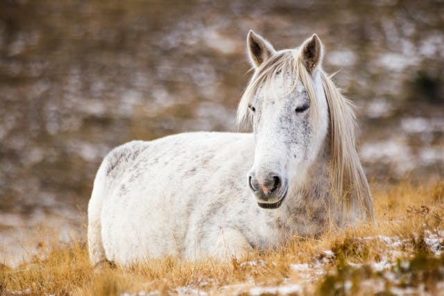 Nocardiosis in Horses - Symptoms, Causes, Diagnosis, Treatment, Recovery, Management, Cost