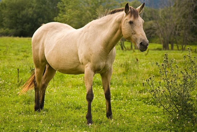Nutritional Secondary Hyperparathyroidism in Horses - Symptoms, Causes, Diagnosis, Treatment, Recovery, Management, Cost