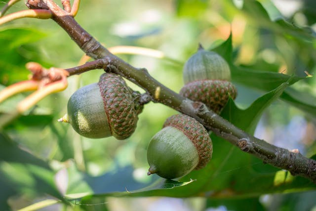 Oak Tree Poisoning in Horses - Symptoms, Causes, Diagnosis, Treatment, Recovery, Management, Cost