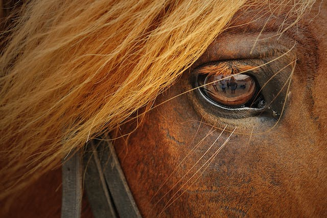 Ocular Neoplasia in Horses - Symptoms, Causes, Diagnosis, Treatment, Recovery, Management, Cost