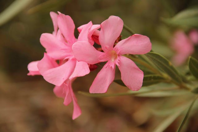 Oleander Poisoning in Horses - Symptoms, Causes, Diagnosis, Treatment, Recovery, Management, Cost