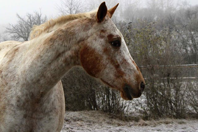 Onchocerciasis in Horses - Symptoms, Causes, Diagnosis, Treatment, Recovery, Management, Cost