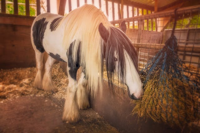 Orchitis in Horses - Symptoms, Causes, Diagnosis, Treatment, Recovery, Management, Cost