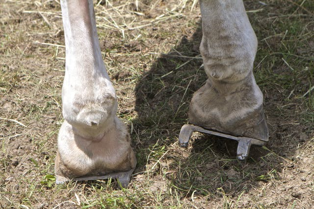 Osselets in Horses - Symptoms, Causes, Diagnosis, Treatment, Recovery, Management, Cost