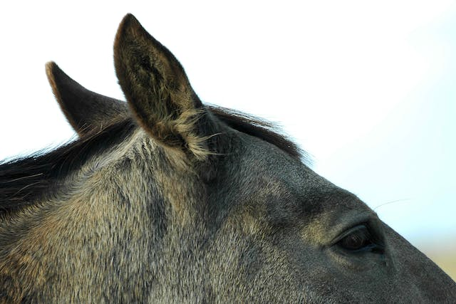 Otitis Externa in Horses - Symptoms, Causes, Diagnosis, Treatment, Recovery, Management, Cost