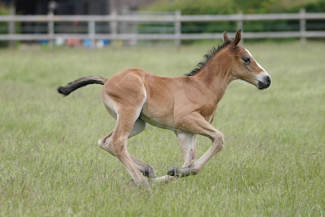 Over-Reaching in Horses - Symptoms, Causes, Diagnosis, Treatment, Recovery, Management, Cost