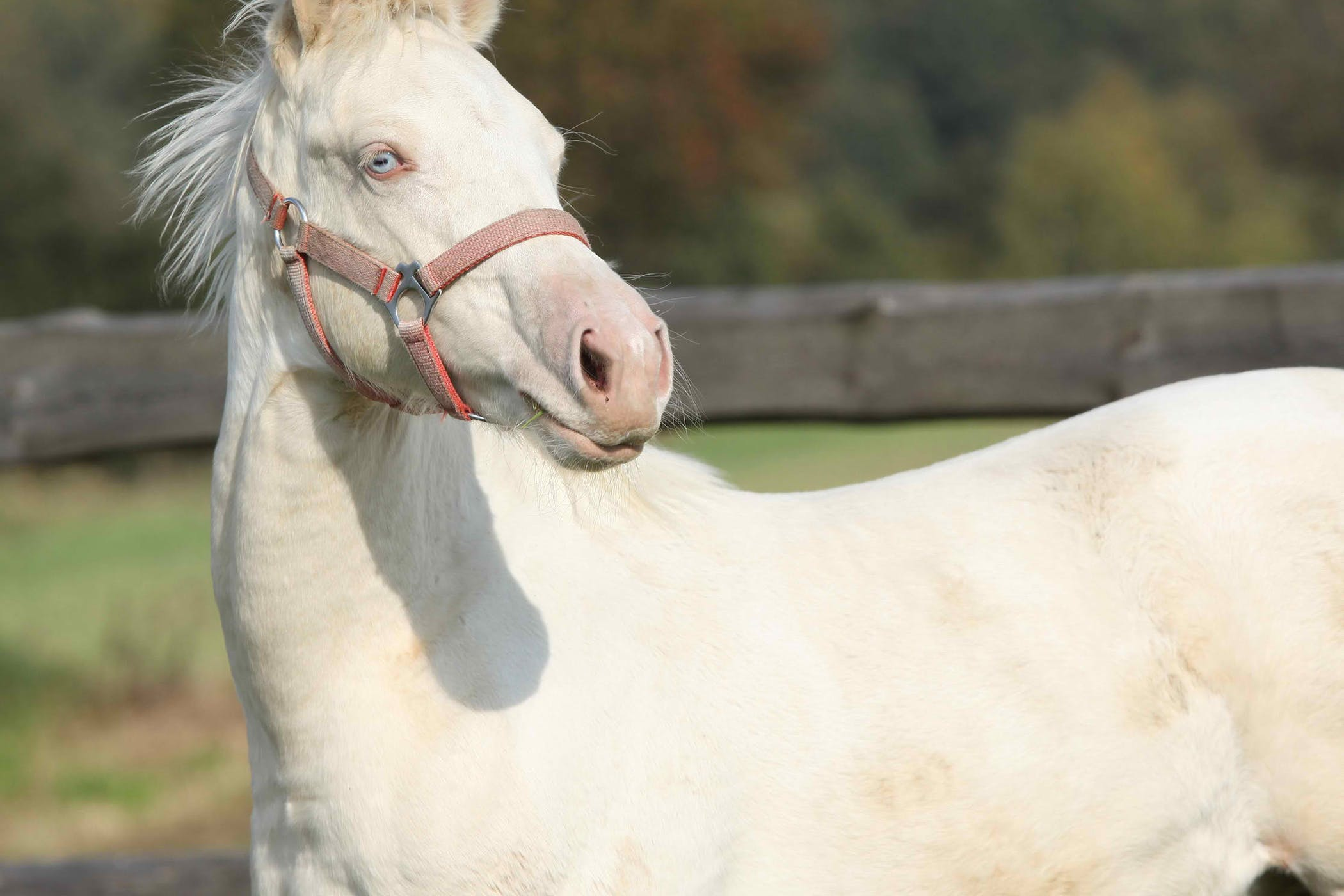 overo lethal white syndrome foals in horses symptoms causes